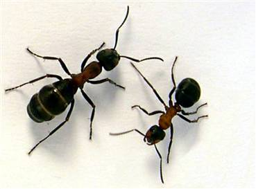 How To Get Rid of Ant's Naturally